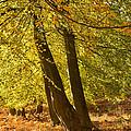 Autumn Beeches by Ann Garrett