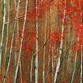 Autumn Birch by Jani Freimann