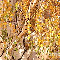 Autumn Birch Leaves by Carol Groenen