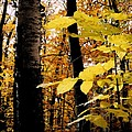 Autumn Birch Trees by Michelle Calkins