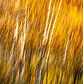 Autumn Birches by Steve Harrington