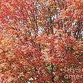 Autumn Blaze by Kevin Croitz
