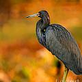 Autumn Blue Heron by Sabrina L Ryan