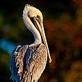 Autumn Brown Pelican by Joan McCool