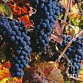 Autumn Cabernet Clusters  by Craig Lovell