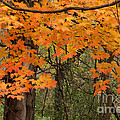 Autumn Canopy by Deborah Smolinske