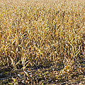 Autumn Cattle Silage Corn In Maine by Keith Webber Jr