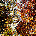 Autumn Chestnut Canopy   by Martin Howard