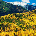 Autumn Color Larch Trees In Pine Tree by Panoramic Images