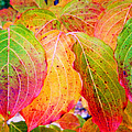 Autumn Colored Leaves by Cynthia McCullough