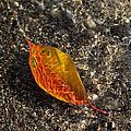 Autumn Colors And Playful Sunlight Patterns - Cherry Leaf by Georgia Mizuleva