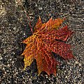 Autumn Colors And Playful Sunlight Patterns - Maple Leaf by Georgia Mizuleva