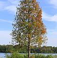 Autumn Cypress Tree by Carol Groenen
