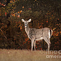 Autumn Doe by Jai Johnson