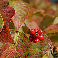 Autumn Dogwood Berries by MM Anderson