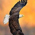 Autumn Eagle by William Jobes