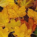 Autumn Fallen Maple by Stephen Dowdell