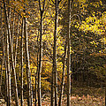 Autumn Forest Scene With Birches In West Michigan by Randall Nyhof