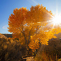 Autumn Golden Birch Tree In The Sun Fine Art Photograph Print by Jerry Cowart