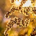 Autumn Goldenrod - Paint  by Steve Harrington