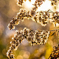 Autumn Goldenrod  by Steve Harrington