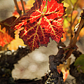 Autumn Grape Leaves by Charmian Vistaunet