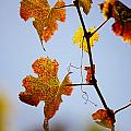 Autumn Grapevine by Dry Leaf