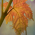 Autumn Grapevine by Fraida Gutovich