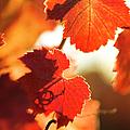 Autumn Grapevine Leaves by Charmian Vistaunet