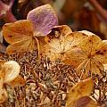 Autumn Hydrangeas V by Rowena Throckmorton