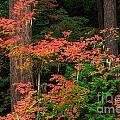 Autumn In Mount Rainier Forest by Inge Johnsson