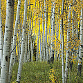 Autumn In The Aspen Grove by Juli Scalzi