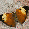 Autumn Leaf Butterfly by Judy Whitton