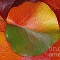 Autumn Leaf by James H Robinson