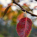 Autumn Leaf by Paulo Goncalves