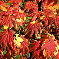Autumn Leaves 07 by Ron Harpham