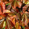 Autumn Leaves 81 by Ron Harpham