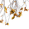 Autumn Leaves Hanging From Branch by John Henkel