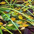 Autumn Leaves In Pond by Dean Ginther
