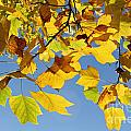 Autumn Leaves Of The Tulip Tree by Julia Gavin