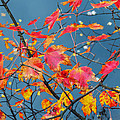 Autumn Leaves by Robert Mitchell