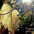 Autumn Light On Leaf by Jennie Marie Schell