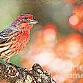 Autumn Male House Finch 1 by Debbie Portwood