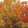 Autumn Maple by Barbara Griffin