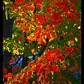 Autumn Maple by Jonathan Fine