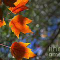 Autumn Maple Leaves In The Sun by Fred Ziegler