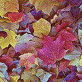 Autumn Maple Leaves On Forest Floor by Gregory Scott