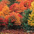 Autumn Maple Trees by Rod Planck