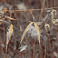Autumn Milkweed by Gothicrow Images