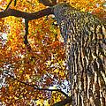 Autumn Oak by Jaroslav Frank